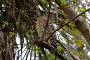 Cooper Hawk at Blue Springs State Park - the Great Florida Birding Trail